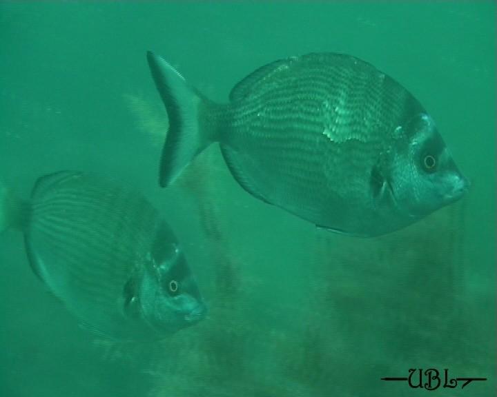 ЗУБАРЬ - одна из самых красивых и любимых мною рыб Черного моря.